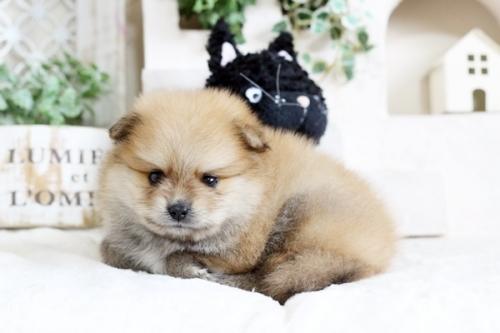 ポメラニアンの子犬(ID:1255411747)の2枚目の写真/更新日:2017-09-12
