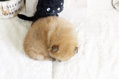 ポメラニアンの子犬(ID:1255411747)の4枚目の写真/更新日:2017-09-12