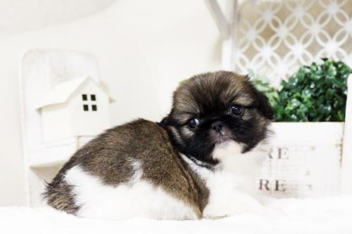 ペキニーズの子犬(ID:1255411748)の4枚目の写真/更新日:2017-09-12