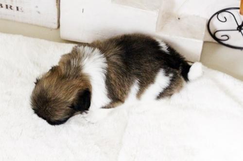 ペキニーズの子犬(ID:1255411748)の5枚目の写真/更新日:2017-09-12