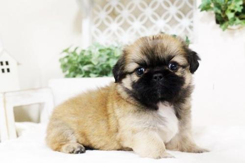 ペキニーズの子犬(ID:1255411749)の1枚目の写真/更新日:2017-09-12