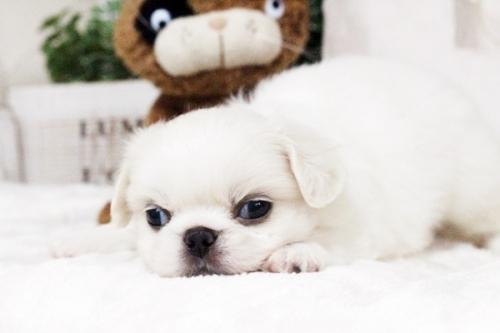 ペキニーズの子犬(ID:1255411750)の1枚目の写真/更新日:2017-09-12