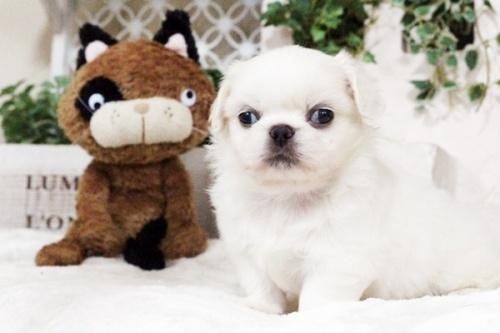 ペキニーズの子犬(ID:1255411750)の3枚目の写真/更新日:2017-09-12