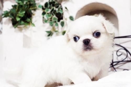 ペキニーズの子犬(ID:1255411750)の4枚目の写真/更新日:2017-09-12