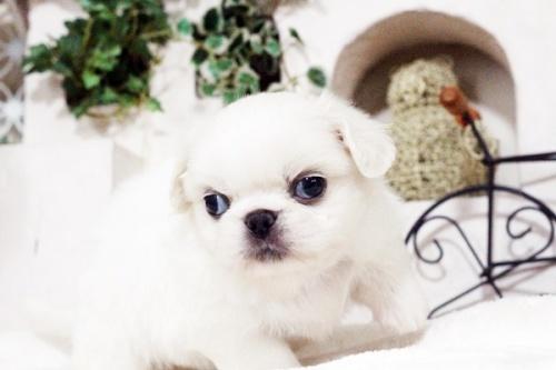 ペキニーズの子犬(ID:1255411750)の5枚目の写真/更新日:2017-09-12