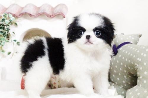 狆(チン)の子犬(ID:1255411751)の1枚目の写真/更新日:2017-10-21