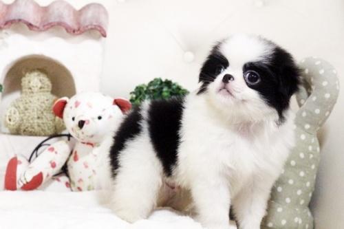狆(チン)の子犬(ID:1255411751)の2枚目の写真/更新日:2017-10-21