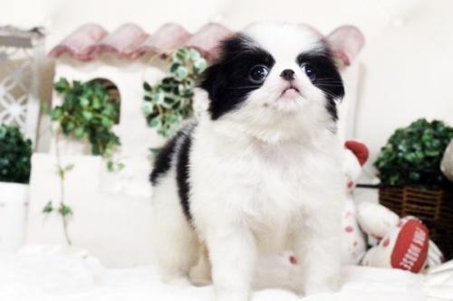 狆(チン)の子犬(ID:1255411751)の3枚目の写真/更新日:2017-10-21