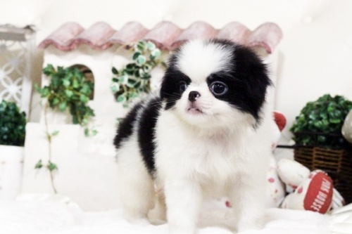 狆(チン)の子犬(ID:1255411751)の4枚目の写真/更新日:2017-10-21