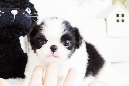 狆(チン)の子犬(ID:1255411752)の2枚目の写真/更新日:2017-09-16