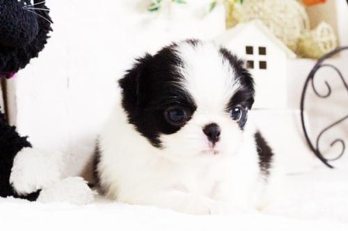 狆(チン)の子犬(ID:1255411752)の5枚目の写真/更新日:2017-09-16