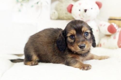 カニンヘンダックスフンド(ロング)の子犬(ID:1255411753)の1枚目の写真/更新日:2018-05-05