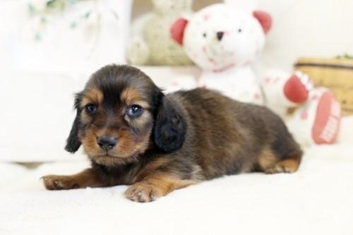 カニンヘンダックスフンド(ロング)の子犬(ID:1255411753)の2枚目の写真/更新日:2018-05-05