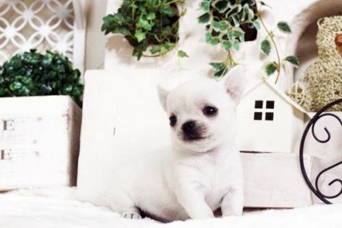 チワワ(スムース)の子犬(ID:1255411754)の1枚目の写真/更新日:2017-09-21