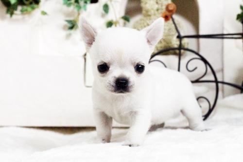 チワワ(スムース)の子犬(ID:1255411754)の2枚目の写真/更新日:2017-09-21