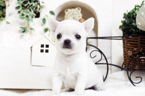 チワワ(スムース)の子犬(ID:1255411754)の3枚目の写真/更新日:2017-09-21