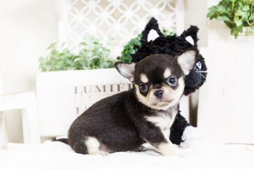 チワワ(スムース)の子犬(ID:1255411755)の1枚目の写真/更新日:2017-09-21