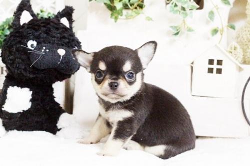 チワワ(スムース)の子犬(ID:1255411755)の2枚目の写真/更新日:2017-09-21