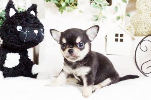 チワワ(スムース)の子犬(ID:1255411755)の3枚目の写真/更新日:2017-09-21