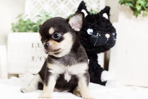 チワワ(スムース)の子犬(ID:1255411755)の4枚目の写真/更新日:2017-09-21