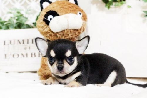 チワワ(スムース)の子犬(ID:1255411756)の2枚目の写真/更新日:2017-09-21