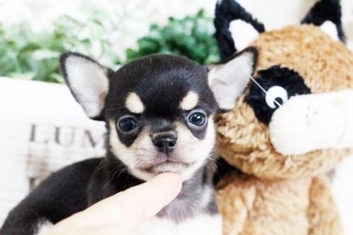 チワワ(スムース)の子犬(ID:1255411756)の3枚目の写真/更新日:2017-09-21