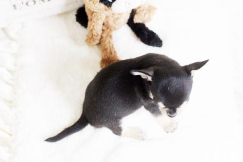 チワワ(スムース)の子犬(ID:1255411756)の4枚目の写真/更新日:2017-09-21