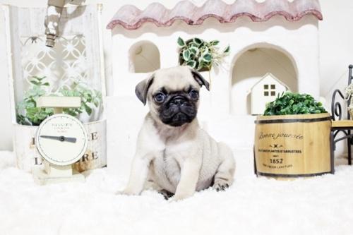 パグの子犬(ID:1255411757)の1枚目の写真/更新日:2021-06-14