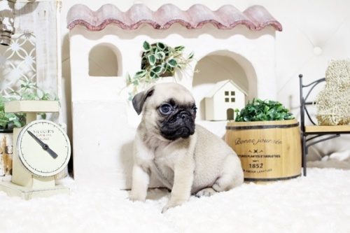 パグの子犬(ID:1255411757)の2枚目の写真/更新日:2021-06-14