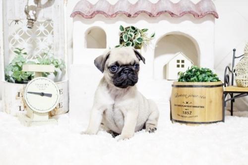 パグの子犬(ID:1255411757)の3枚目の写真/更新日:2021-06-14
