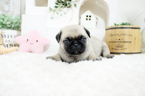 パグの子犬(ID:1255411758)の1枚目の写真/更新日:2017-09-21