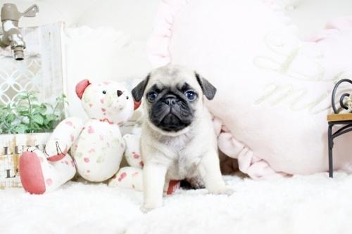 パグの子犬(ID:1255411758)の2枚目の写真/更新日:2017-09-21