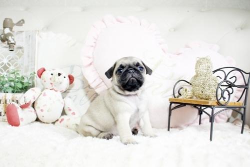 パグの子犬(ID:1255411758)の3枚目の写真/更新日:2017-09-21