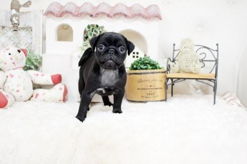 パグの子犬(ID:1255411759)の4枚目の写真/更新日:2017-09-21