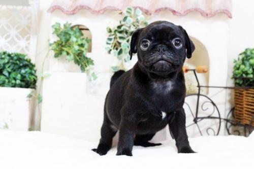 パグの子犬(ID:1255411760)の2枚目の写真/更新日:2017-11-17