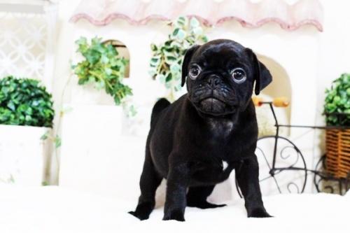 パグの子犬(ID:1255411760)の3枚目の写真/更新日:2017-11-17