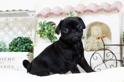 パグの子犬(ID:1255411760)の4枚目の写真/更新日:2017-11-17