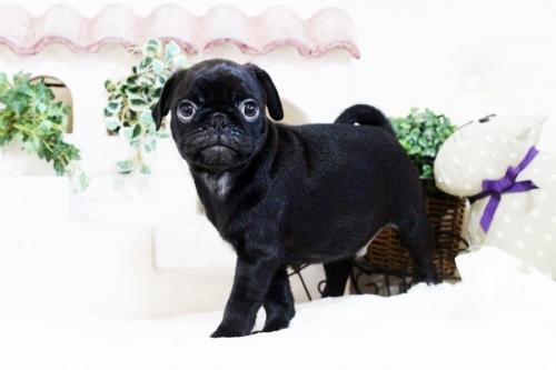パグの子犬(ID:1255411760)の5枚目の写真/更新日:2017-11-17
