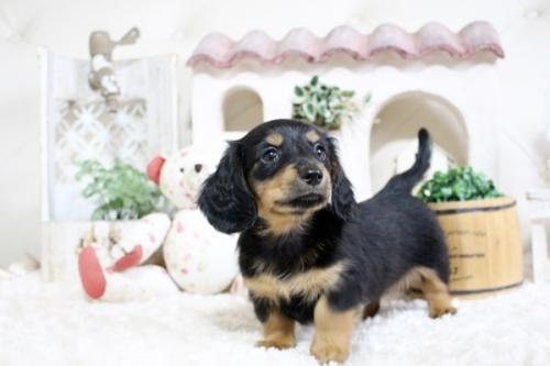 カニンヘンダックスフンド(ロング)の子犬(ID:1255411761)の1枚目の写真/更新日:2017-10-10