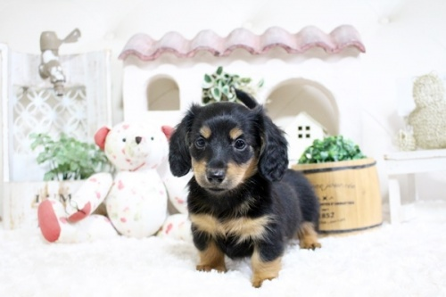 カニンヘンダックスフンド(ロング)の子犬(ID:1255411761)の2枚目の写真/更新日:2017-10-10