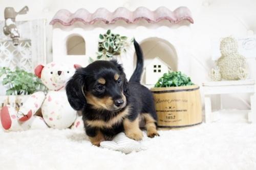 カニンヘンダックスフンド(ロング)の子犬(ID:1255411761)の3枚目の写真/更新日:2017-10-10
