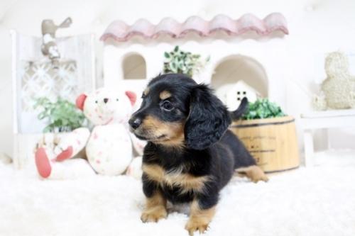 カニンヘンダックスフンド(ロング)の子犬(ID:1255411761)の4枚目の写真/更新日:2017-10-10