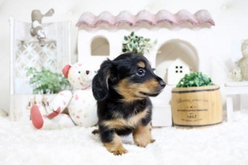 カニンヘンダックスフンド(ロング)の子犬(ID:1255411761)の5枚目の写真/更新日:2017-10-10