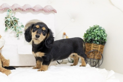 ミニチュアダックスフンド(ロング)の子犬(ID:1255411762)の1枚目の写真/更新日:2019-11-05
