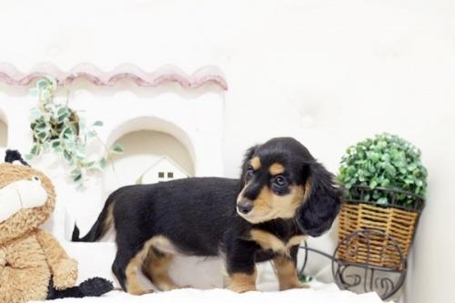 カニンヘンダックスフンド(ロング)の子犬(ID:1255411762)の2枚目の写真/更新日:2017-09-26