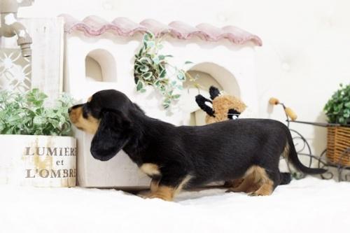 ミニチュアダックスフンド(ロング)の子犬(ID:1255411762)の3枚目の写真/更新日:2019-11-05