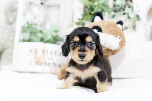 カニンヘンダックスフンド(ロング)の子犬(ID:1255411763)の1枚目の写真/更新日:2018-08-24