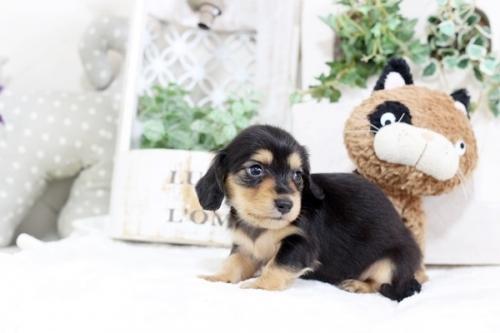 カニンヘンダックスフンド(ロング)の子犬(ID:1255411763)の2枚目の写真/更新日:2017-09-26