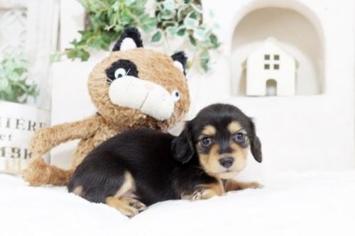 カニンヘンダックスフンド(ロング)の子犬(ID:1255411763)の3枚目の写真/更新日:2018-08-24