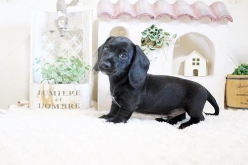 カニンヘンダックスフンド(ロング)の子犬(ID:1255411764)の1枚目の写真/更新日:2017-10-10